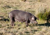 stock photo of farrow  - Iberian pig in the field of Extremadura - JPG
