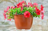 picture of flower pots  - Beautiful decorative red flowers potted in hanging basket - JPG