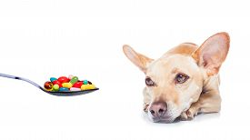 image of high fever  - chihuahua dog with headache and sick ill or with high fever suffering medication of pills and tablets in a spoon isolated on white background - JPG