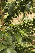 Постер, плакат: Кофе растения для зрелой Кимбайе Колумбия