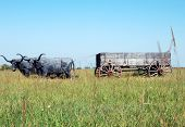 stock photo of ox wagon  - Kansas plains has rustic wooden wagon pulled by two long horns - JPG