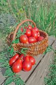 Fresh Ripe Red Tomatoes In A Basket On The Garden poster