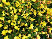 Oenothera Or Evening Primrose Flower (oenothera Biennis) Background. Yellow Flowes Evening Primrose  poster