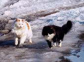 Two Cute Fluffy Cat Together Walking On Melting Snow. Black And White Two Cats On Early Spring Walk. poster