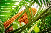 Encephalartos Laurentianus Shrub. Subtropical Cycad Evergreen Palm Like Plant With Red Cones. Cycas. poster