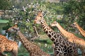 Giraffes Group In The Forest poster