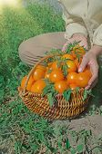 Freshly Harvested Yellow Tomatoes poster