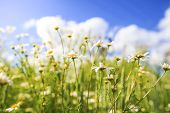 Camomile Flowers On Green Summer Meadow In Bright Sunny Day. Meadow Flowers Background. Summer Natur poster