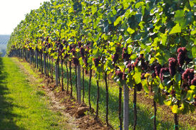 image of wine grapes  - rows of wine grapes in backlight