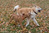 Cute American Staffordshire Terrier Puppy And Akita Inu Puppy Are Playing In The Autumn Park. Pet An poster
