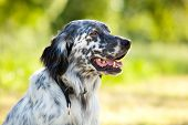 stock photo of english setter  - english setter portrait outdoor - JPG