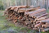 Natural Wooden Logs Cut And Stacked In Pile, Felled By The Logging Timber Industry. Trunks Of Felled poster