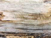 Dry Tree Trunk Close-up. Plane Tree Trunk Textured Background poster