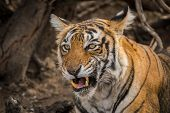 Beautiful Royal Bengal Female Tiger Portrait Or Head Shot With An Eye Contact. This Adult Tigress Ha poster