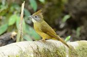 picture of bulbul  - beautiful puff-throated bulbul (Criniger pallidus) inThai forest ** Note: Slight graininess, best at smaller sizes - JPG