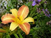 stock photo of asiatic lily  - A yellow and orange Asiatic Lily in the rain on a summery day - JPG
