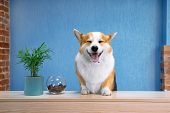 Cute Ginger And White Dog Of Welsh Corgi Pembroke Breed Sits On The Desk Of Reception. Funny Face Ex poster