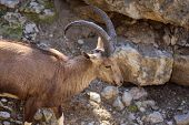 picture of nubian  - A Nubian ibex - JPG