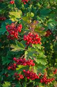 Berries Of The Viburnum On Branch
