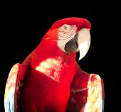 picture of green-winged macaw  - Green - JPG