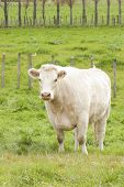 stock photo of charolais  - A Charolais Cow standing in a lush paddock - JPG