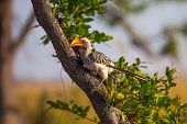 Southern Yellow-billed Hornbill in Botswana