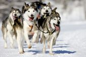 stock photo of sled-dog  - front view at four siberian huskys at race in winter - JPG