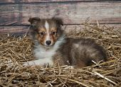 stock photo of sheltie  - Sweet Sheltie puppy laying in a bed of straw - JPG