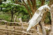 foto of cow skeleton  - An old white cow skull on a fencepost