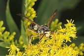 foto of goldenrod  - Closeup of a Wasp Obtaining Nectar from a Goldenrod in Autumn - Ontario Canada