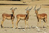 stock photo of ram  - A trio of Impala rams stare into the same direction - JPG
