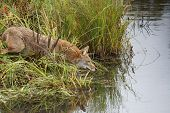 image of coyote  - the coyote  having drink of water in the lake - JPG