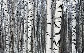 foto of birching  - Birch trees in the forest - JPG