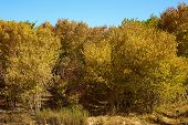 picture of cottonwood  - Wind blowing on Cottonwood Trees which are changing colors during autumn foliage taken at a riparian forest on the Mojave River in Victorville - JPG