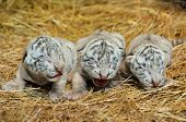 stock photo of white tiger cub  - white newborn Bengal tigers together in nature crying - JPG