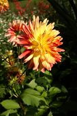Colorful Red And Yellow Dahlia Flower