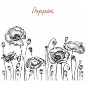 Poppies,  hand-drawn illustration.
