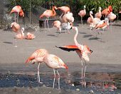 picture of pink flamingos  - many pink flamingo birds on zoo outdoor background - JPG