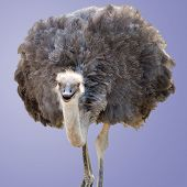 stock photo of ostrich plumage  - A Beautiful Female Ostrich Isolated on Purple - JPG
