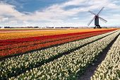 Windmill on field of tulips in Netherlands