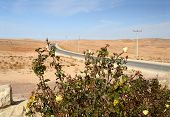 picture of desert-rose  - Flowering bush of yellow roses on the background of the road in the desert - JPG