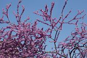 pic of judas tree  - Judas tree leaves and flowers in the park - JPG