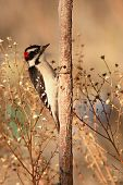 image of woodpecker  - A Downy Woodpecker looking for food on a sapling in New Mexico - JPG