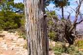 stock photo of juniper-tree  - Arizona Grand Canyon Juniper tree trunk texture in USA - JPG