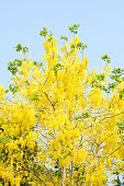 stock photo of cassia  - golden shower tree  - JPG