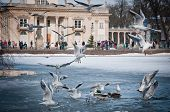 stock photo of polonia  - Mews with Palace on the Water building in Lazienki Park  - JPG