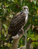 foto of fish-eagle  - An Osprey often called Fish Eagle perches in a tree overlooking a Florida coastal marsh surveying the surrounding area for food - JPG