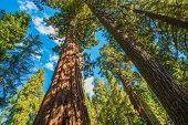 stock photo of sequoia-trees  - Giant Sequoias in the Sequoia National Park in California USA - JPG