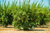 foto of pomegranate  - Pomegranate Cultivation - JPG