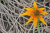 picture of chrysanthemum  - The sun - JPG